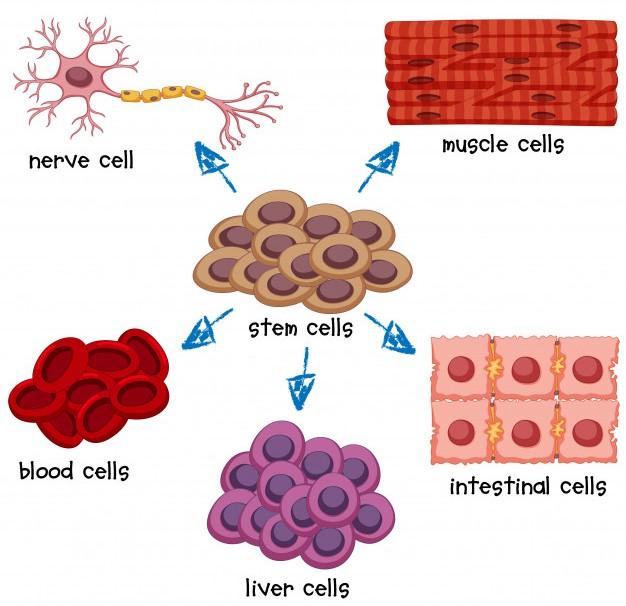 Dientes y células madre